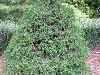 Chamaecyparis obtusa 'Brigtte's Beehive'