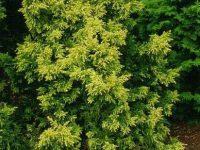 Chamaecyparis obtusa 'Lycopodiodes Aurea'