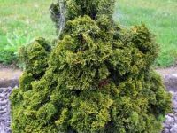 Chamaecyparis obtusa 'Marble Mountain'