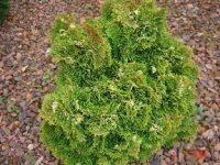 Chamaecyparis obtusa 'Tonia'