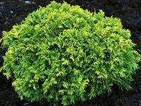 Chamaecyparis pisifera 'Gold Globe'