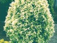 Cryptomeria japonica 'Sekkan Sugi'
