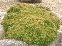 Cryptomeria japonica 'Tensan'