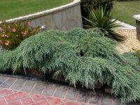 Cupressus macrocarpa 'Greenstead Magnificent'