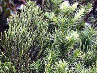 Halocarpus Kirkii