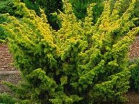 Juniperus chinensis 'Plumosa Aurea'