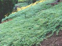 Juniperus taxifolia var. Luchuensis