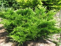 Juniperus x media 'Mint Julep'