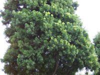 Podocarpus gracillior