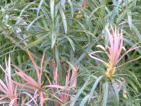 Podocarpus henkelli