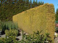 Podocarpus totara 'Aureus'