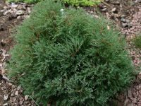 Thuja occidentalis 'Ericoides'