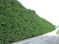 Thuja plicata 'Green Giant' Established Hedge