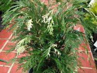 Chamaecyparis lawsoniana 'Albovariegata'